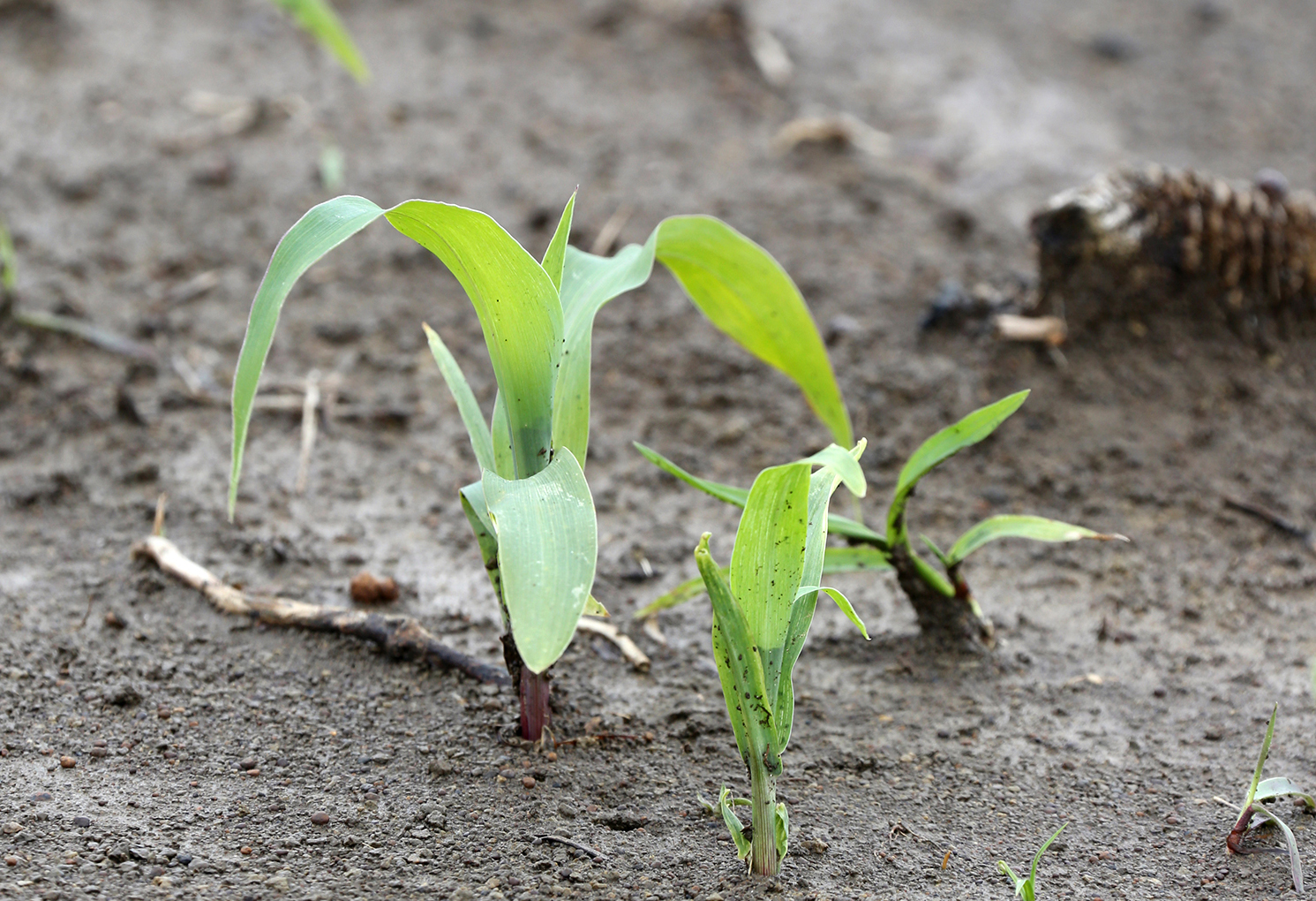 In the Corn Field: Water and Nitrogen Loss